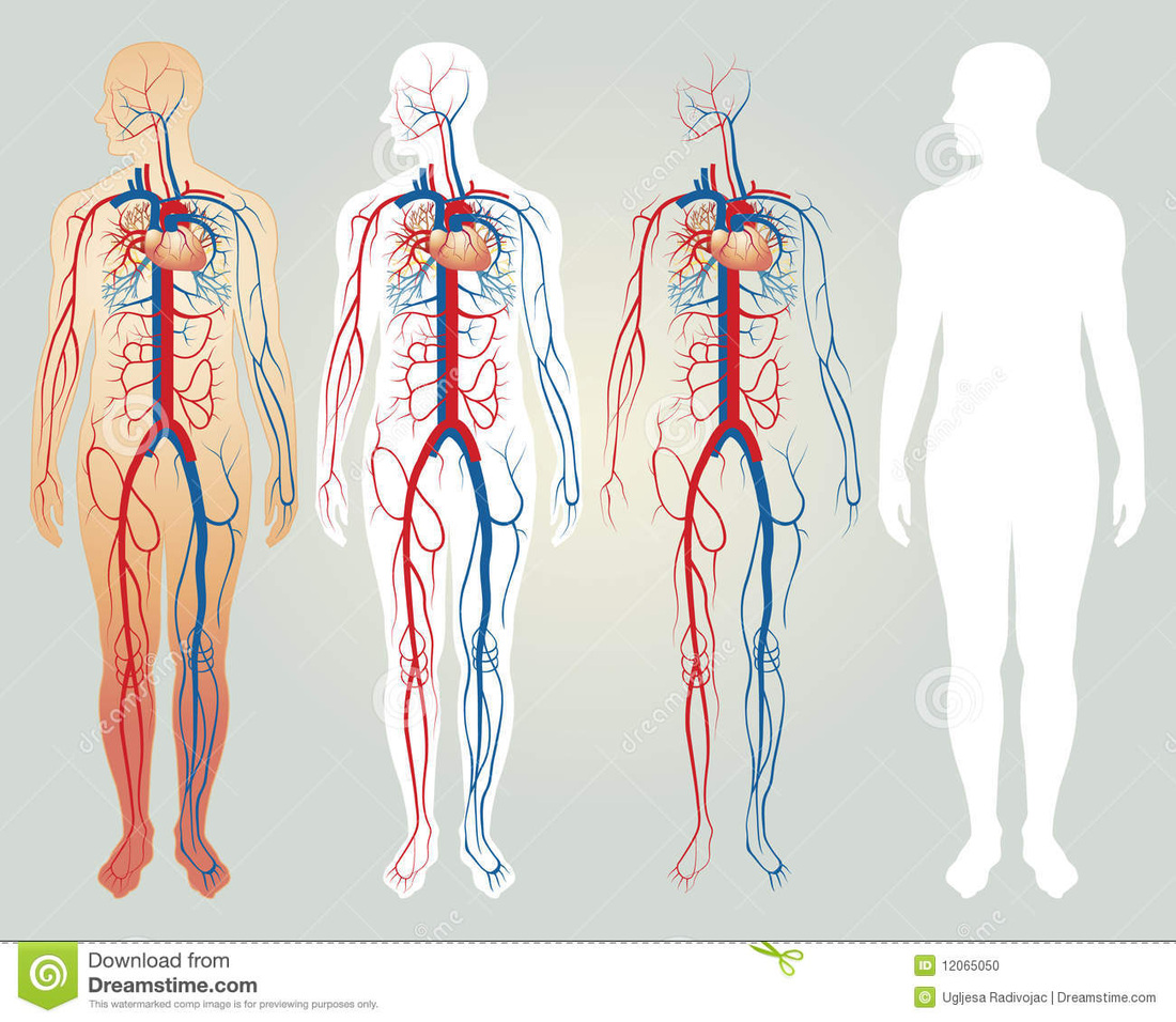 AnatomyWS together with Lymph Nodes Behind The Ear Explained besides Digestive System Diagram For Kids additionally Circulatory System additionally . on easy to draw circulatory system
